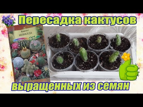 Как вырастить кактус из семян в домашних условиях. Пересадка сеянцев кактуса