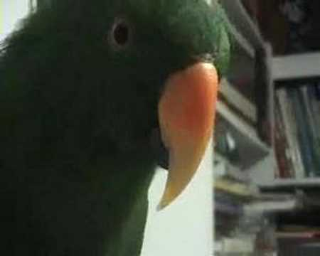 Riley the Amazing Talking Parrot 3