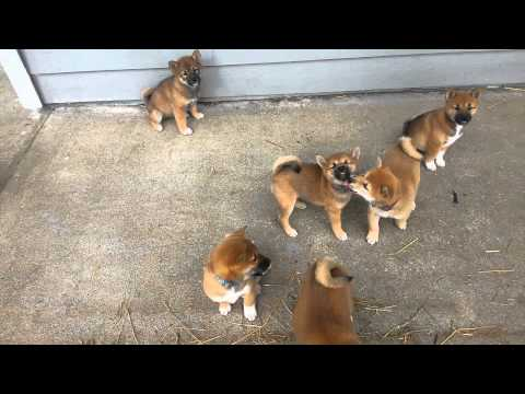 7 week old Shiba inu Puppy with a unique climbing method