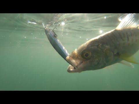The Salmon Trout Of Garden Island   Kayak Fishing South Australia