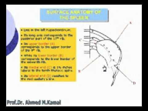 43 Abdomen Surface anatomy of the spleen Azhar Medicine com - YouTube