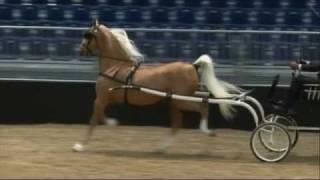 American Saddlebred Horses auf der Pferd & Jagd