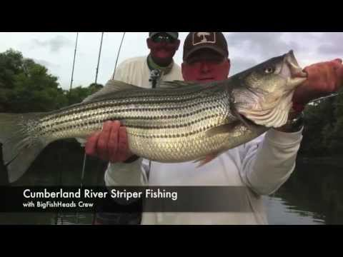 Striper fishing on cumberland river with bigfishheads for Lake cumberland striper fishing report