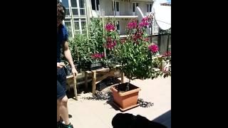 Как дать собаке желатиновые таблетки Ротвейлер Максимус  maximus