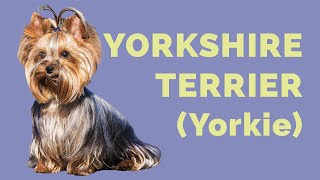 Perro YORKSHIRE TERRIER (Yorkie): CARACTERÍSTICAS de la raza, CUIDADOS e historia