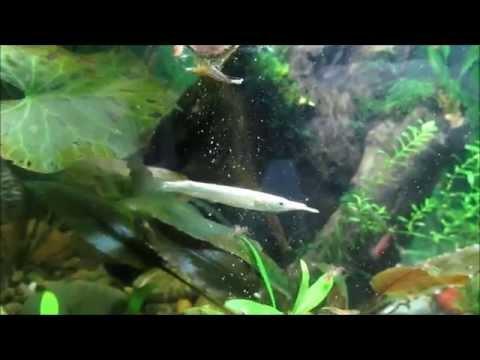 Странное кормление карликовой щуки: дермогенис полурыл (Dermogenys Pusillus) ест таблетку