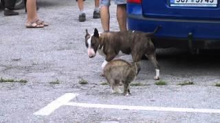 Bulteriér A Kočka/ The Bull Terrier And Cat - Fight