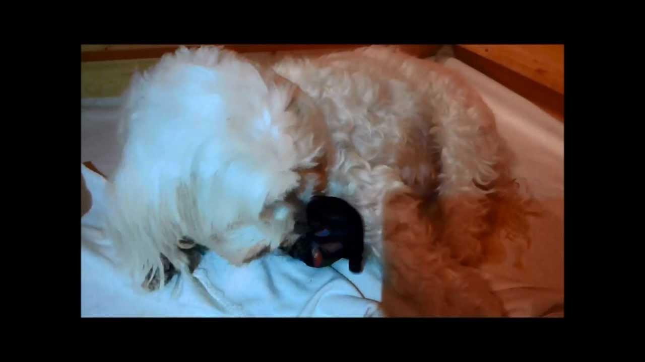 malteser bekommt welpen maltesergeburt malteser gets puppies youtube. Black Bedroom Furniture Sets. Home Design Ideas