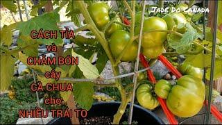 🇨🇦 CÁCH CHĂM SÓC CÀ CHUA CHO NHIỀU TRÁI TO // HOW TO TAKE CARE  & TRIM TOMATO MORE FRUITS