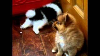 Parti-color Pomeranian