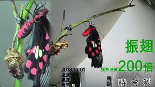 出生於2018.10.01的蝶兒,我將你的羽化,美麗的模樣,全時紀錄起來,除...