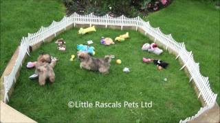 Little Rascals Uk Breeders New Litter Of Cava Tzu Pups - Puppies For Sale UK