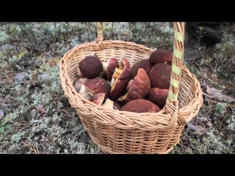 Когда собирать грибы Как правильно собирать грибы в лесу