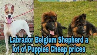 Labrador Gultair Belgium Shepperd Puppies for Sale 03139393944 #Petsmart  #onlinepetstore #dog