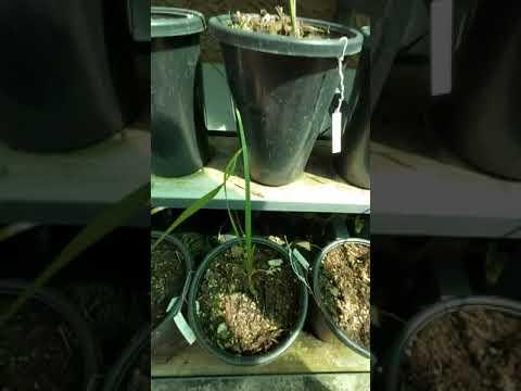 ยังพอมีเหลือครับ ต้นกล้าต้นพันธุ์อินทผลัม 0870877530