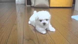 マルチーズ 仔犬.