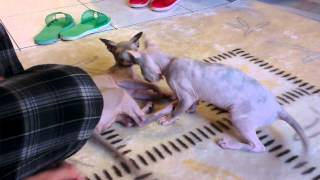 Cats are playing..Sphynx Kingdom Cattery 斯芬克斯王國貓舍 Taiwan 愛玩貓
