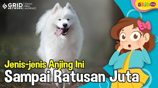 Jenis Anjing Paling Mahal di Dunia, Mulai dari Samoyed Hingga Lowchen