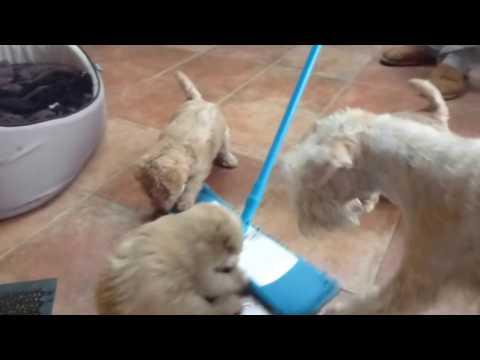 Lakeland terrier des Broucas deth Casteriou