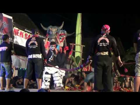 BANTENG GANAS NGAMUK !!!  PENONTON TAWURAN !!! NEW SATRIYO MUDO (jaranan terbaru)