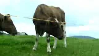 Vaches suisses ^^