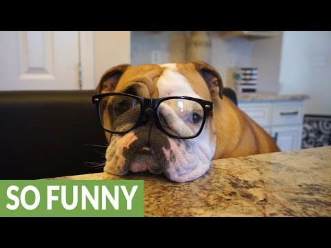English Bulldog creates online dating profile