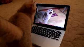 Шотландская кошка Золотая Шиншилла NY25 /Scottish Cat chinchilla golden 2013