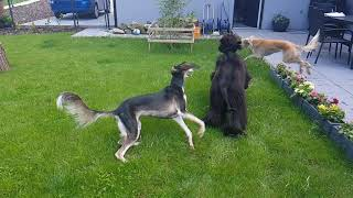 Afghan hound Ellie and Salukis Cristine and Bea are running together