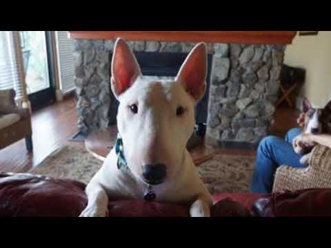 Trailer: Mini Bull Terrier