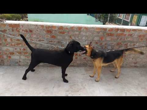 German Shepherd and Labrador fighting and barking..
