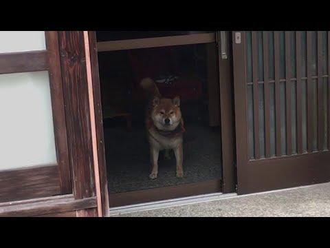 玄関の中から色んな体勢でこちらを見てくる柴犬  Shibe was looking over here from the front door with various postures.