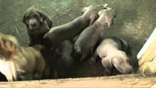 Broken Arrow Farms - Weimaraner Puppies - 1 Of 3