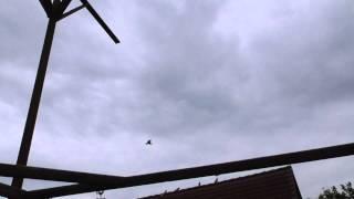 Николаевские голуби Wilhelm Balles 5