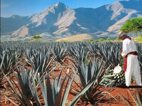 The Process Of Tequila