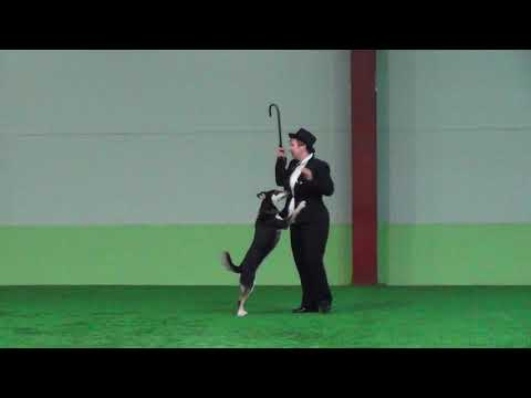 Ширяева Мария Валерьевна МАРГО лапландская оленегонная собака Открытый - Фристайл