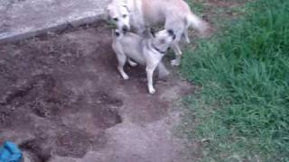 Pug Vs Labrador