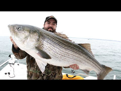 Striper fishing striped bass fishing best striper for Striper fishing at night