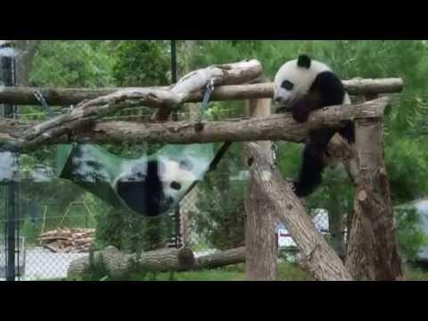 Panda Cubs Toronto Zoo Video June 2016