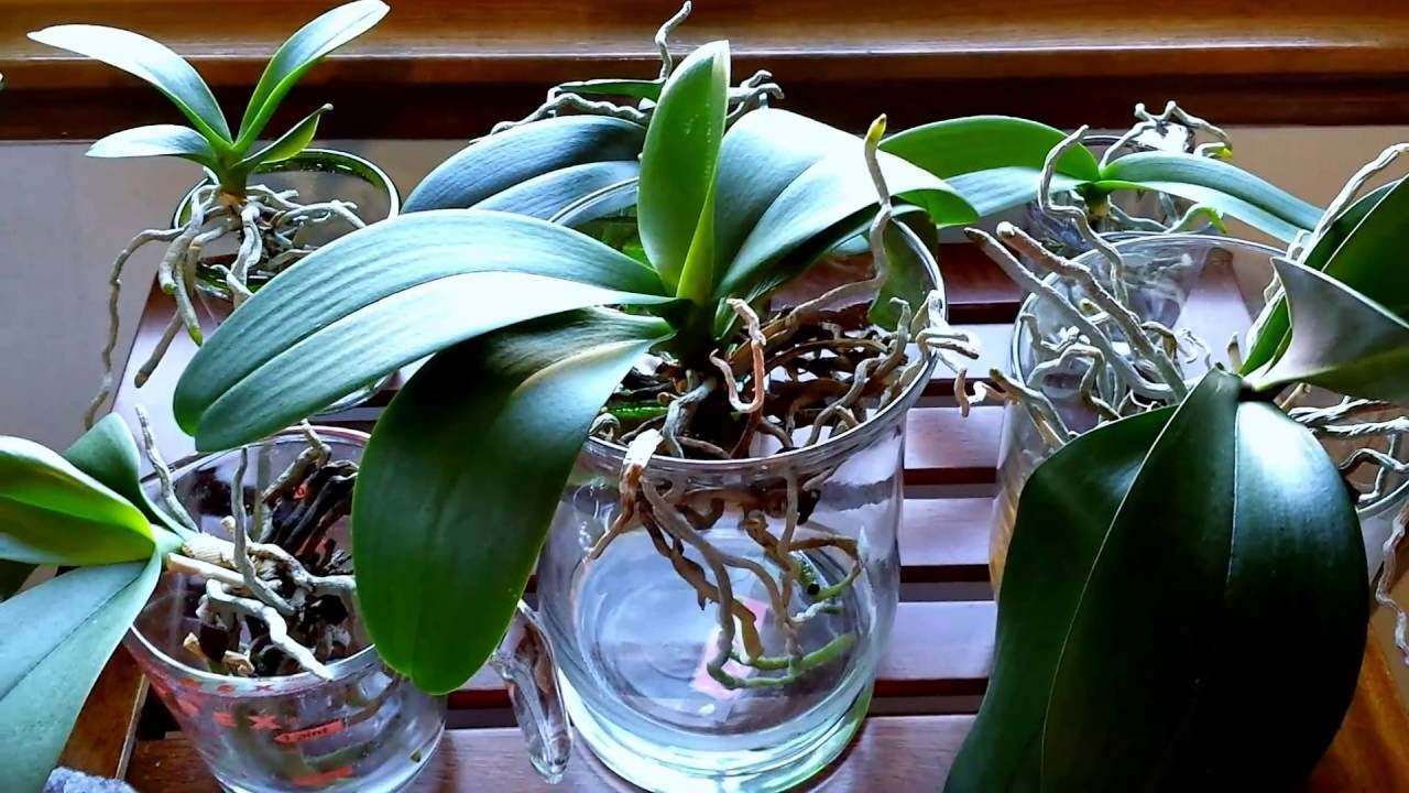 Orchids To Water Culture