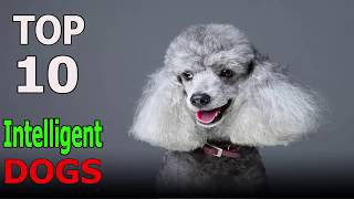 Top 10 Most Intelligent Dog Breeds | Top 10 animals