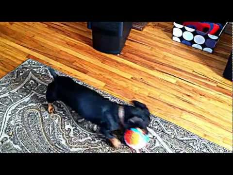 Chuckit Indoor Ball - Review - Chad the Wiener Dog
