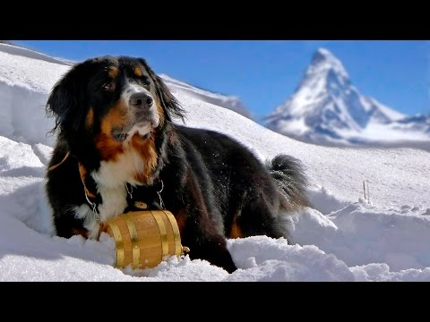 Bernese Mountain Dog - DOG LOVERS ❤