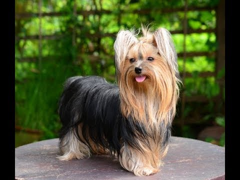 Yorkshire Terrier | Cute Small Dogs|The Top Smallest Dog Breeds in the World|CUTE DOGS