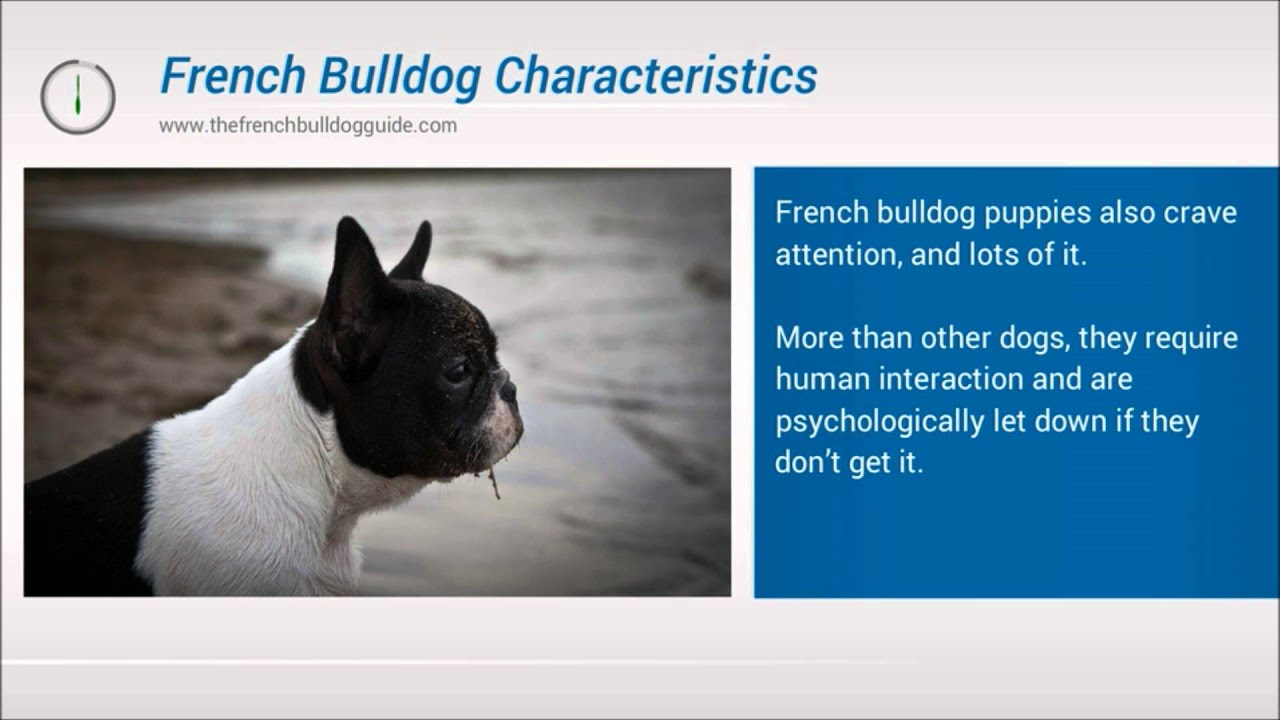 The Characteristics of the French Bulldog - YouTube