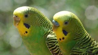 волнистый попугай как отличить самочку от самца