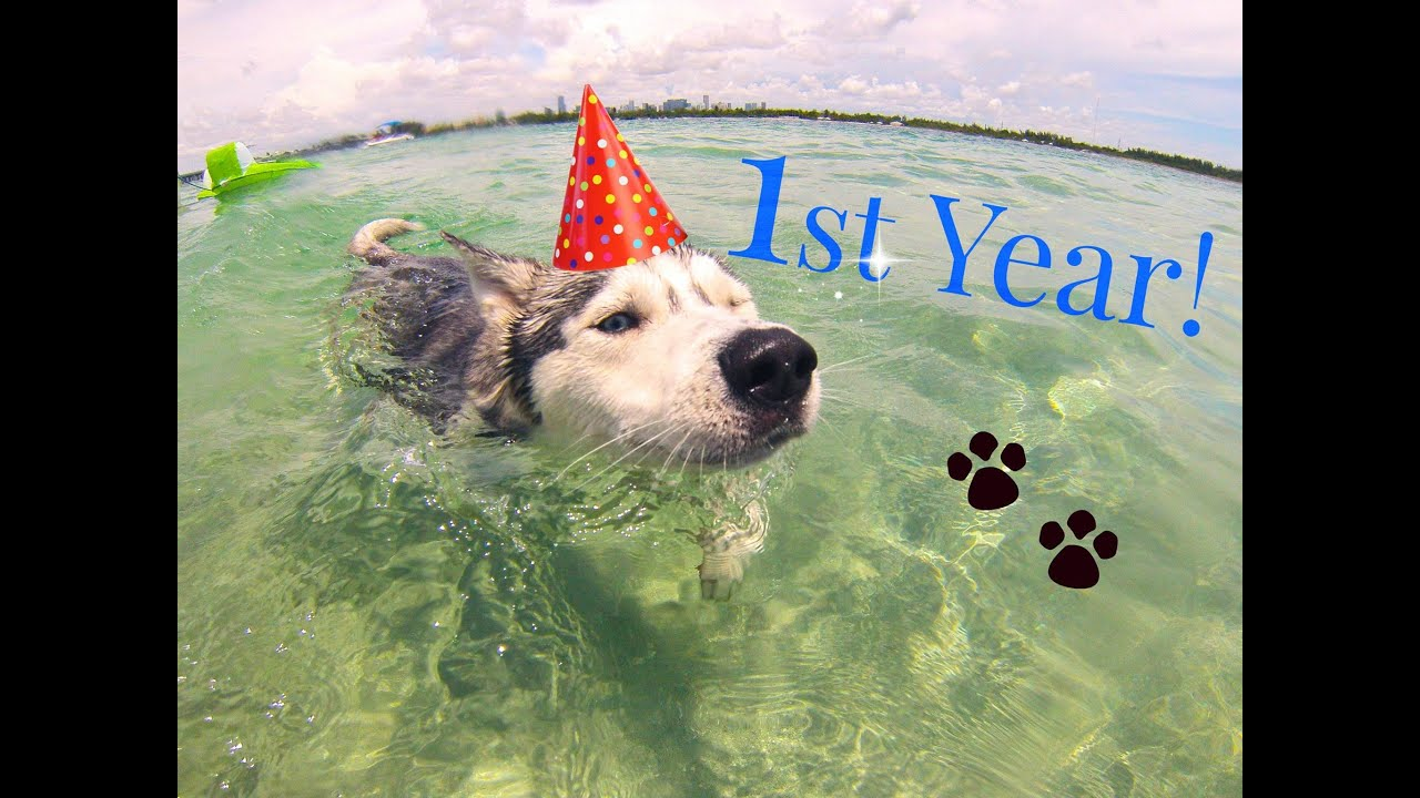 Gohan The Husky's 1st Year On YouTube (Favorite Moments)