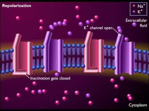 Voltage gated Channels and the Action Potential HD Animation