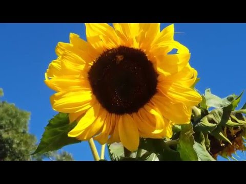 The Sunflower,  the Dandelion and the Chrysanthemun  beautiful flowers l Troyan4