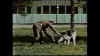 Тестирование собак на АОР. В рядах СА в СССР. Прикладная дрессировка собак.