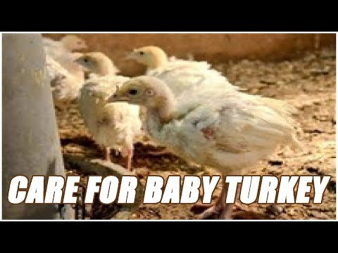 How To Take Care Of A Baby Turkey